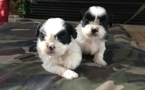 2 Left- Reg. Lhasa Apso Puppies- Just in time for Mothers Day
