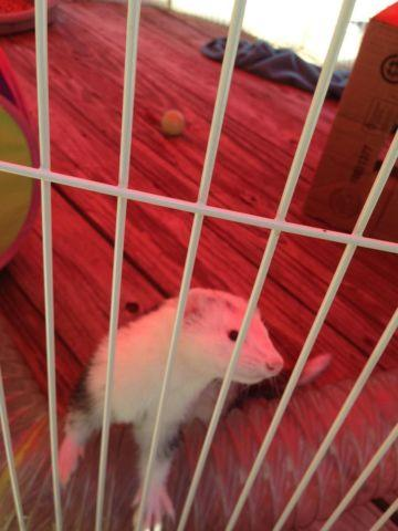 2 male ferrets rehoming