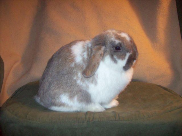 2 male rabbits, 1 mini-Rex and 1 Netherland dwarf
