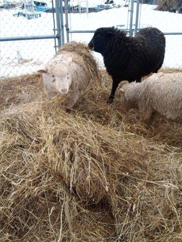 3 MIXED BREED SHEEP FOR SALE: 2 RAMS 1 EWE. DUNDEE NY