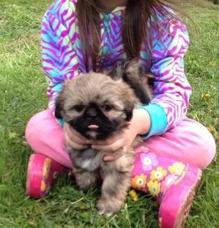 ACA, AKC pure purebred Lasa-poos male puppies 14weeks old