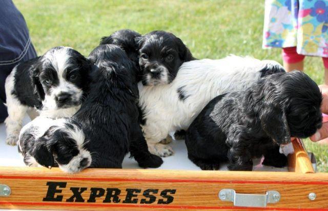 Aca American Cocker Spaniel Puppies