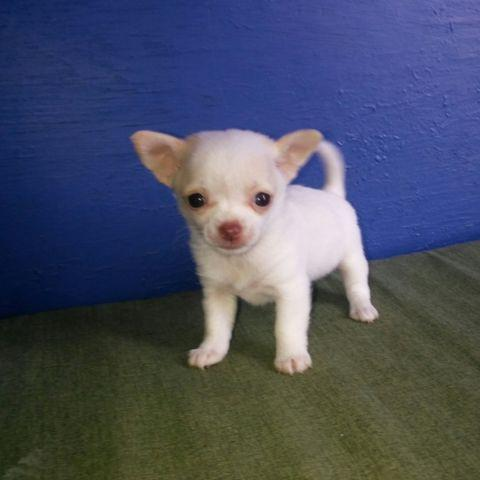 Adorable Applehead Chihuahua puppy eight weeks old teacup