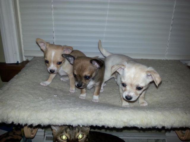 Adorable Baby Chihuahuas! Just in time for Christmas!!!