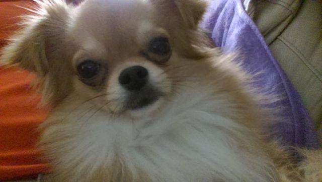 Adorable Long Haired Purebred Chihuahua looking for new home ! : )