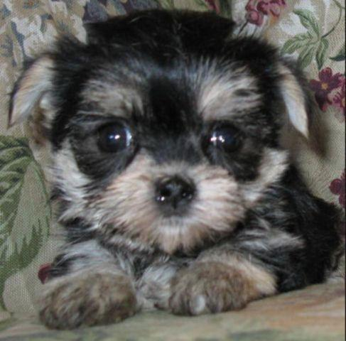 ADORABLE MORKIE PUPPIES