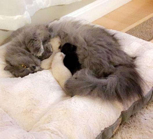 Adorable Newborn Himalayan Kittens For Sale In Rochester New York New York Daily Ads