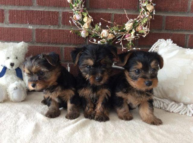 Adorable Silkie Terrier Puppies