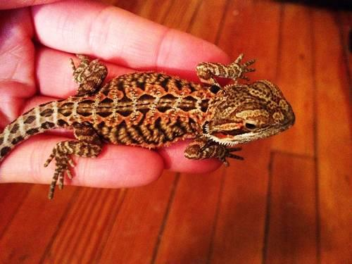Simply Pics of adult leopard geckos remarkable, very