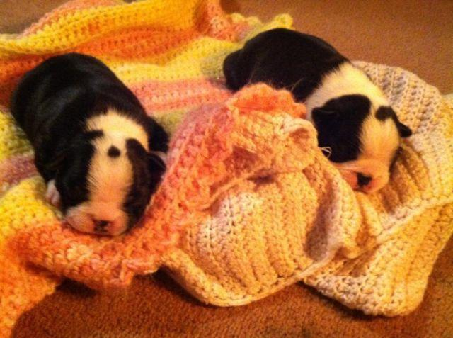 AKC Boston Terrier Puppies