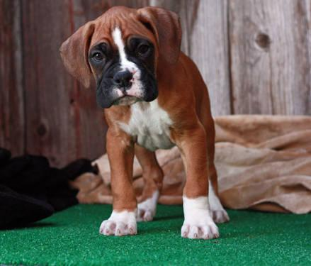 Akc boxer puppies for sale wwweashesboxerscom in shipshewana pictures