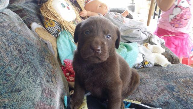 AKC Chocolate / Black Labs