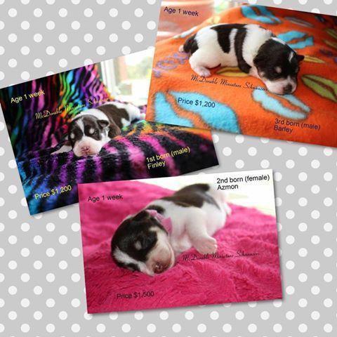 AKC/CKC Miniature Schnauzers puppies