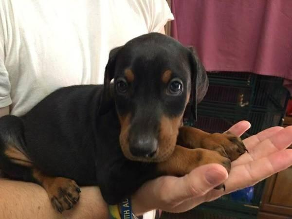 AKC Doberman Pinscher Puppies in Baldwinsville, New York