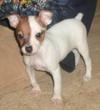 akc rat terrier akc fss toy rat terrier puppies in montgomery new york 3546