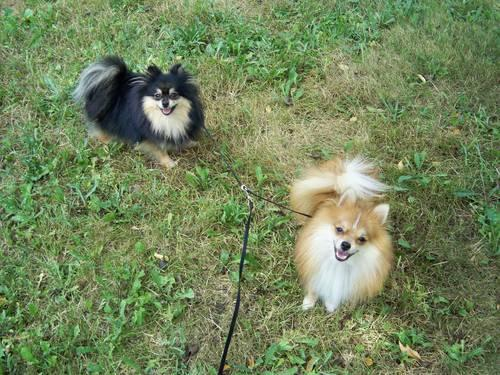AKC Pomeranian Litter Announcement! Due March 2013! in Kendall, New
