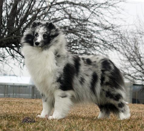 AKC registered Shetland Sheepdog puppies