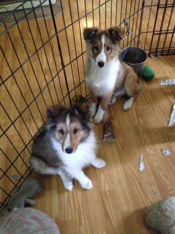 AKC Sheltie Puppies