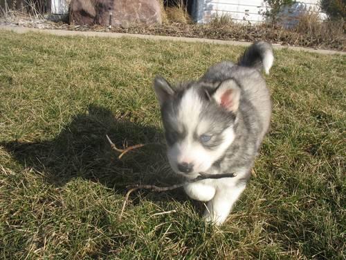 Gerberian Shepsky Puppies For Sale California To Download Gerberian ...