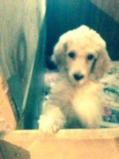 akc Standard Poodle pups $650 ($1200 breeding rights)