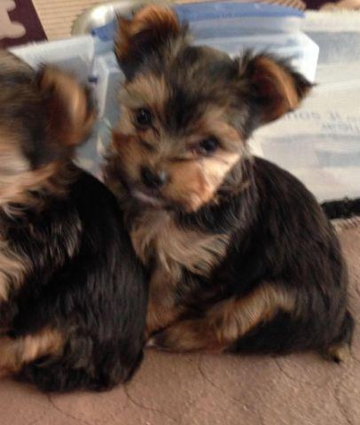 AKC Yorkie Puppies