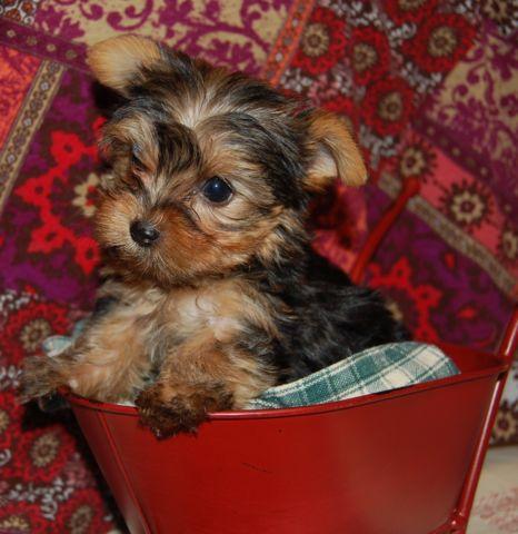 AKC Yorkshire Terrier puppies 8 weeks old