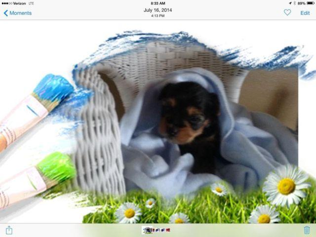 AKC Yorkshire Terrier Puppy