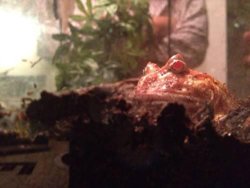 Albino Pacman Frog and Setup