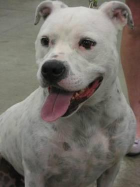American Bulldog - Darla - Medium - Adult - Female - Dog