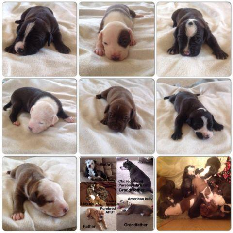 American bully/American pitbull terrier puppies with gotti blood