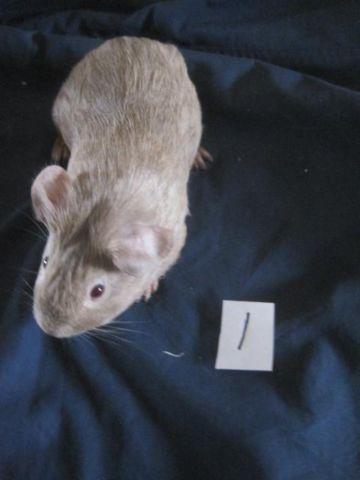 American Cavy (guinea pig)