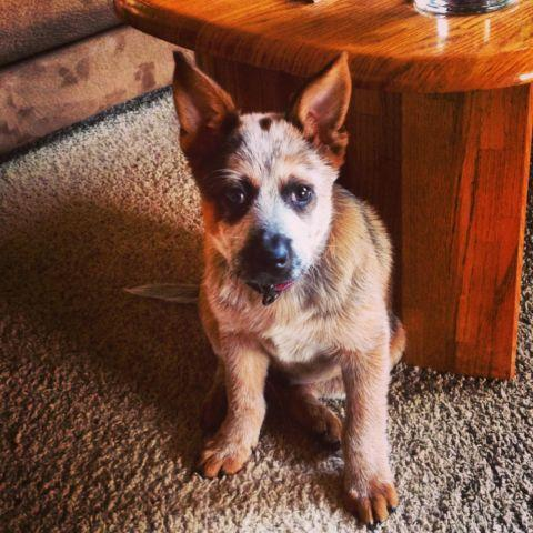 Australian Cattle Dog (Blue Heeler) - Axle - Medium - Young