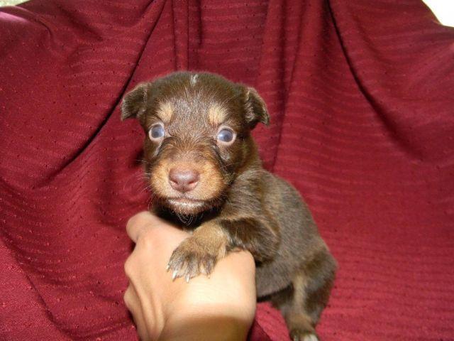 Australian Shepherd Puppies!