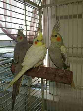 Baby cockatiels for adoption
