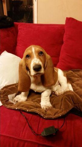 Basset hound puppy 16 weeks