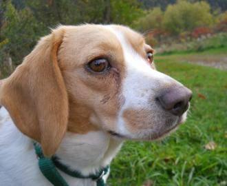 Beagle - Bessie - Small - Adult - Female - Dog