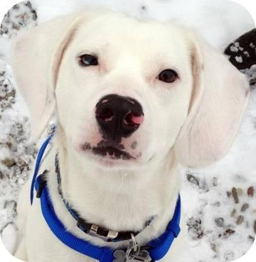 Beagle - Frosty - Medium - Young - Male - Dog