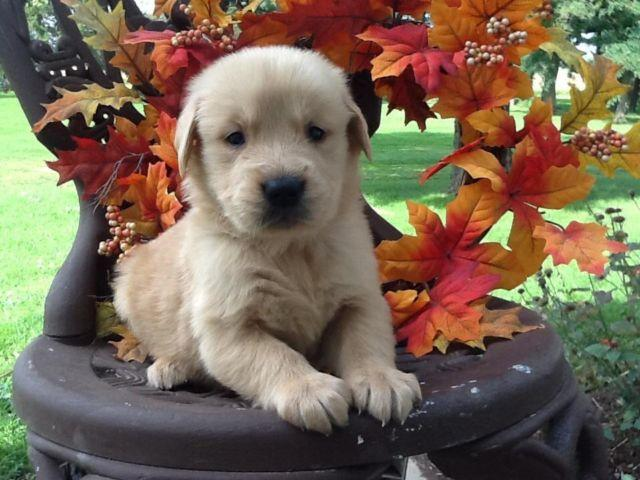 Beautiful AKC/OFA Golden Retriever Puppies