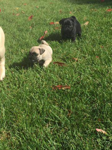 Beautiful AKC Pugs 14 Weeks Old 2 Female 1 Male