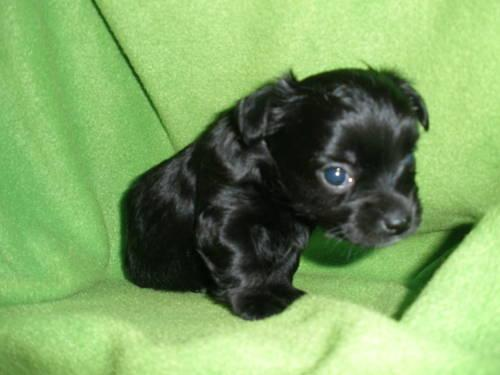 Black And White Chorkie Puppies