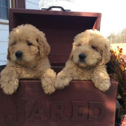 Beautiful Goldendoodle Puppies
