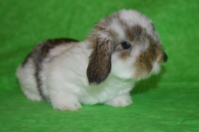 Beautiful Litters of Mini Lops for Easter