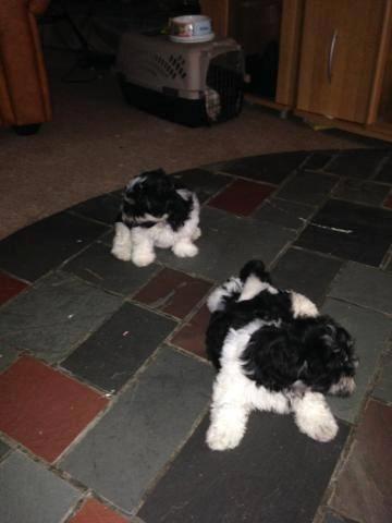 Beautiful Maltese/ Shih-Tzu puppies - 9 weeks old