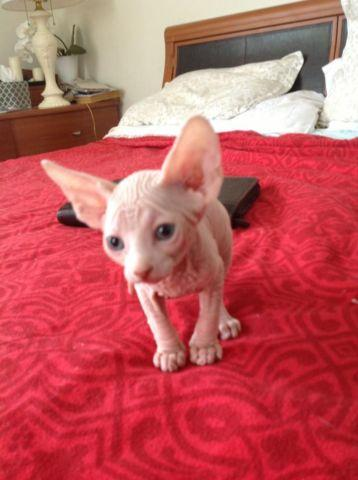 Beautiful Sphynx kittens for sale in East Yaphank, New York