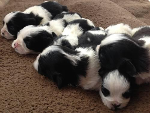 Black and White Registered Lhasa Apso Puppies- Taking deposits