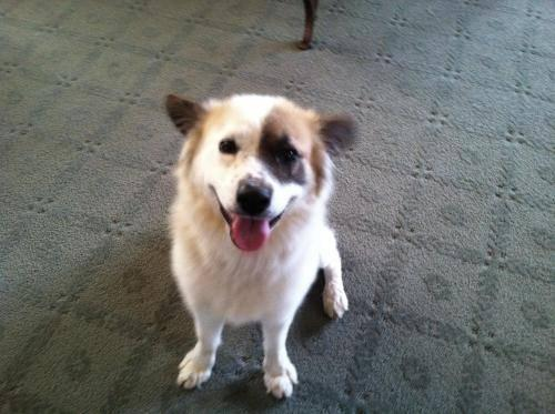Border Collie - Blue - Medium - Young - Male - Dog