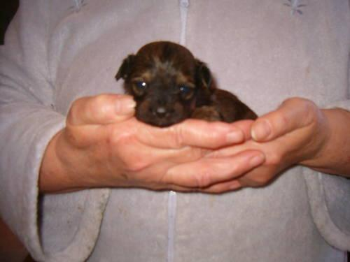 Cavapoo Puppies in Johnson, New York | New York Daily Ads