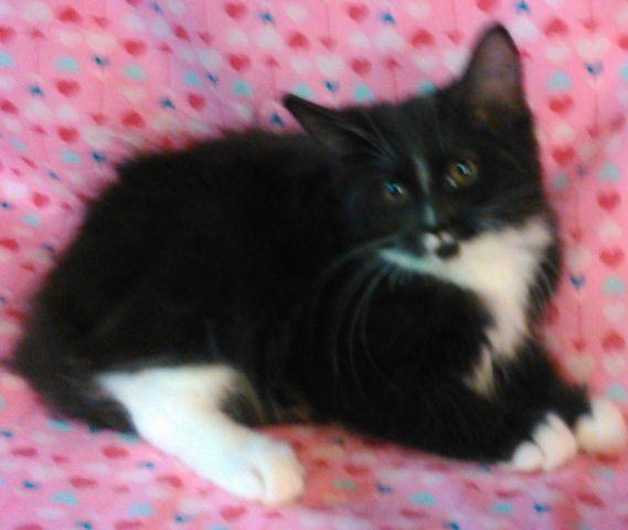 Champion Sired Female Maine Coon kitten dob 5/6/16 black / white, cfa