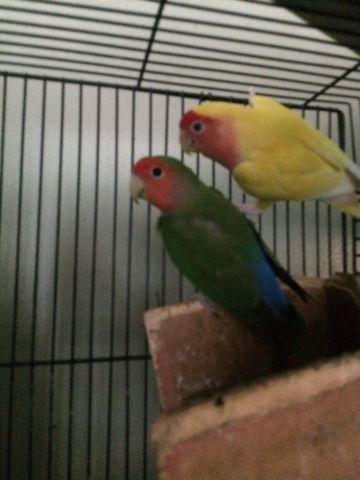 Cheerful Love birds