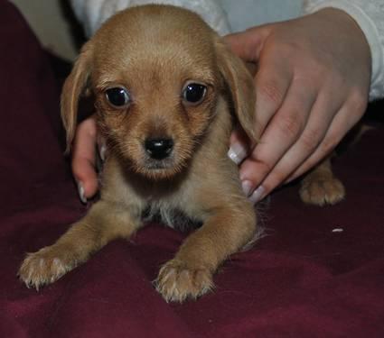 chipoo poodle chihuahua genuine tea cup chipoo baby TINY GIRL
